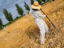 No al blat transgènic. Foto: PTF